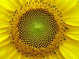 Fibonacci Sequence in Flowers