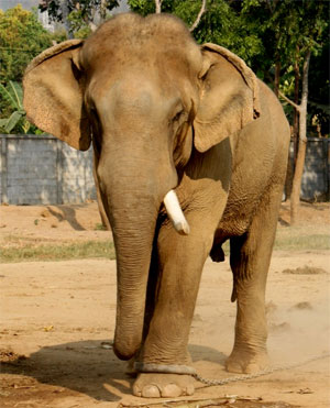 elephant-tied-with-rope