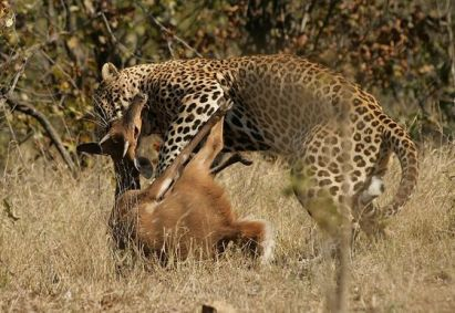 Leopard_kill_-_KNP_-_001