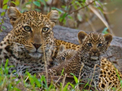 Mother-Leopard-and-Cubs-North-Serengeti_0000_Layer-1